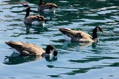 Kanada gąska w społeczności jeziorze, Kalifornia, Branta canadensis Obrazy Stock