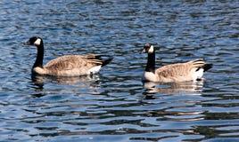 Kanada gąska w społeczności jeziorze, Kalifornia, Branta canadensis Fotografia Stock