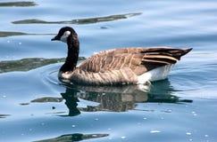 Kanada gąska w społeczności jeziorze, Kalifornia, Branta canadensis Obraz Stock