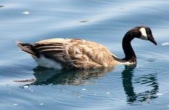Kanada gąska w społeczności jeziorze, Kalifornia, Branta canadensis Fotografia Royalty Free