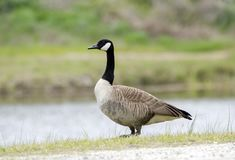 Kanada gąski gniazdeczka sezon, Walton okręg administracyjny, dziąsła Obrazy Royalty Free