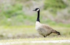 Kanada gąski gniazdeczka sezon, Walton okręg administracyjny, dziąsła Obrazy Stock