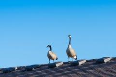 Kanada gąski na dachu zdjęcia stock