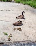 Kanada gęsi rodzinny relaksować na ciepłym wiosna dniu zdjęcia stock