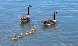 Kanada gęsia rodzina dla za pływaniu obraz stock