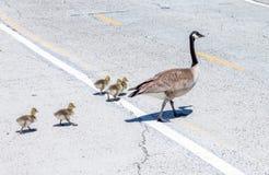 Kanada gęsia rodzina krzyżuje drogę w newport beach Kalifornia zdjęcia royalty free