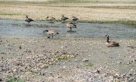 Kanada gąski Przy Normandy parkiem Obrazy Royalty Free