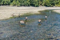 Kanada gąski Przy Normandy parkiem 2 Obraz Royalty Free