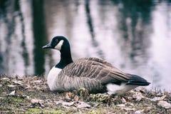 Kanada gąski ptak Zdjęcia Royalty Free