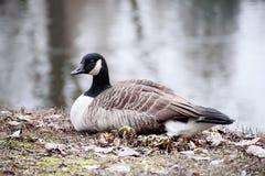 Kanada gąski ptak Obraz Stock