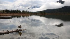 Kanada-Gans auf hölzernem Klotz stock video