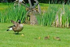 Kanada-Gans, Babys und grünes Gras Lizenzfreies Stockbild