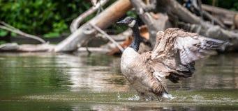 Kanada-Gans badet mit Stärke im Ottawa-Fluss Lizenzfreie Stockfotos