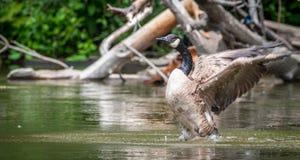 Kanada-Gans badet mit Stärke im Ottawa-Fluss Lizenzfreies Stockbild