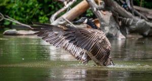 Kanada-Gans badet mit Stärke im Ottawa-Fluss Stockbild
