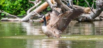 Kanada-Gans badet mit Stärke im Ottawa-Fluss Lizenzfreie Stockbilder