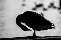 Kanada-Gans, die in der Nachmittagssonne sich putzt Stockfoto