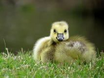 Kanada-Gans Gosling, der im Gras liegt Stockfotos