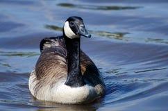 Kanada-Gans Hen Drake auf Teich Stockfotos