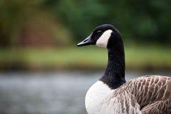 Kanada-Gans im brecon erleuchtet Nationalpark lizenzfreies stockbild