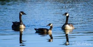 Kanada Gans und Gosling auf blaues Wasser-Teich Lizenzfreie Stockfotos