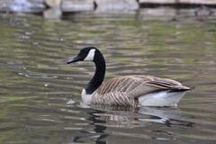 Kanada-Gansschwimmen auf einem See stockfotos