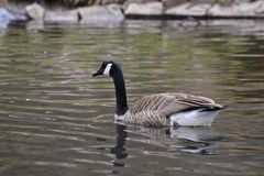 Kanada-Gansschwimmen auf einem See lizenzfreie stockfotografie