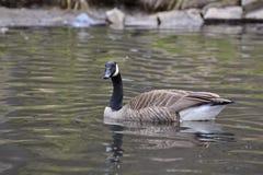 Kanada-Gansschwimmen auf einem See lizenzfreie stockfotos