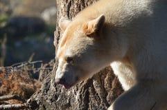 Kanada: Geist-Bär (Kermode-Bär) stockfotos