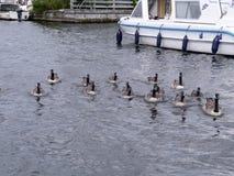 Kanada-Gänse, die zur Kamera mit Boot hinten schwimmen Stockbild