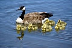 Kanada goose2 Fotografering för Bildbyråer