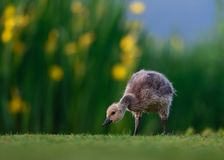 Kanada Gosling mit wilder Iris Flowers Stockfotografie