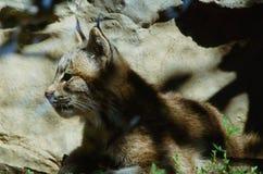 Kanada lodjur Kitten Profiled Arkivfoto