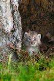 Kanada lodjur (lodjurcanadensisen) Kitten Calmly Looks Out fotografering för bildbyråer