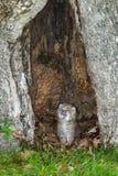 Kanada lodjur (lodjurcanadensisen) Kitten Cries Fotografering för Bildbyråer
