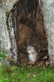 Kanada lodjur (lodjurcanadensisen) Kitten Sits i ihåligt träd Royaltyfri Foto