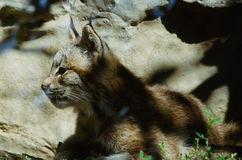 Kanada-Luchs Kitten Profiled Stockfoto