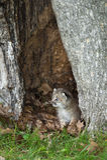 Kanada-Luchs-Luchs canadensis Kitten Looks Left From Within-Baum Lizenzfreies Stockbild