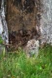 Kanada-Luchs-Luchs canadensis Kitten Stands im Gras Stockfoto