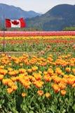 Kanada tulipanu pola Fotografia Stock