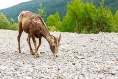 Kanadensisk bergsfår Royaltyfri Foto