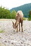 Kanadensisk bergsfår Arkivfoton