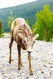 Kanadensisk bergsfår Fotografering för Bildbyråer