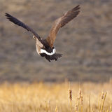 kanadensisk flyggås Royaltyfri Bild