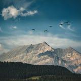 Kanadensisk gäss för flyg på en blå himmel över de steniga bergen och pilbåge de barrträds- träna för sjö Rocky Mountains Alberta arkivbilder