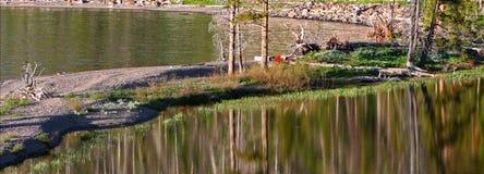 Kanadensisk gäss i Yellowstone sjön Wyoming fotografering för bildbyråer
