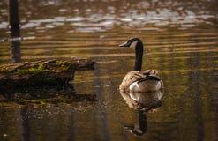 Kanadensisk gås i våtmarkerna Arkivfoto