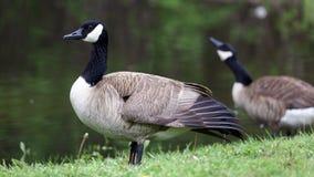Kanadensisk gås med fågelungar, gäss med gässlingar som går i grönt gräs i Michigan under våren Arkivbild