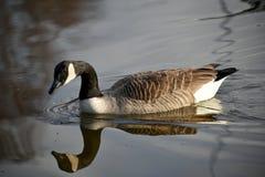 Kanadensisk gås med reflexion Fotografering för Bildbyråer