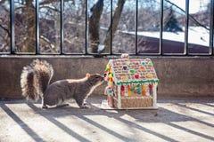 Kanadensisk grå färgekorre som sniffar julpepparkakahuset Djur- och julferier Fotografering för Bildbyråer